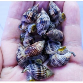 Нассариус. Nassarius Snail.