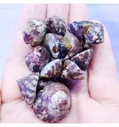 Трохус. Trochus snail.