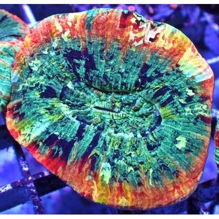 Trachyphyllia geoffroyi. WYSIWYG.