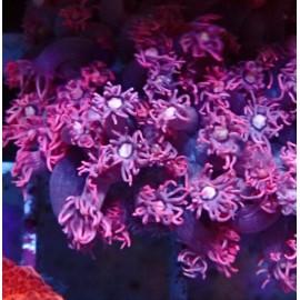 Goniopora Ultra. UCA.
