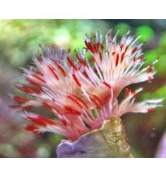 Червь в известковой трубке. Protula bispiralis.