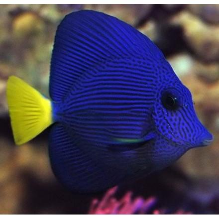 Зебрасома синяя желтохвостая. Zebrasoma xanthurum. L.