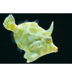 Acreichthys tomentosus. Единорог-акреихт.