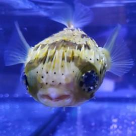 Diodon hystrix, Рыба-еж S.