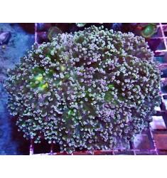 Эуфиллия виноградная L.