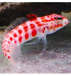 Red spotted sand perch.