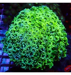 Toxic Green Goniopora. WYSIWYG.