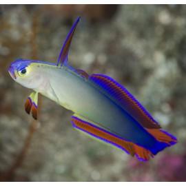 Нематэлеотрис пурпурный. Nemateleotris decora