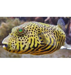 Arothron Stellatus Yellow