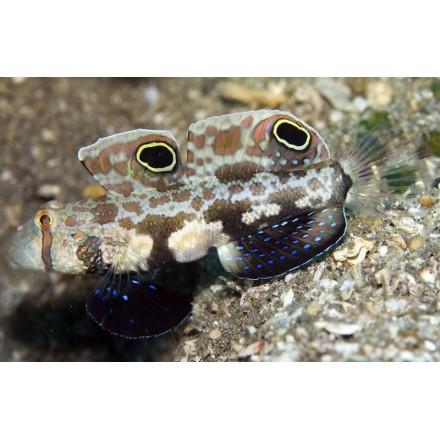 Signigobius Biocellatus. Бычок двуточечный.