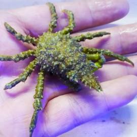 Hyastenus sp. Conical spider crab.