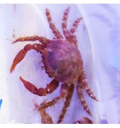 Red Mithrax crab.