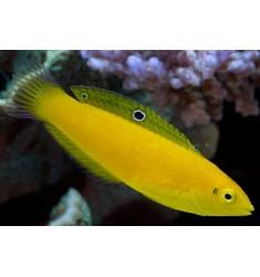 Halichoeres chrysus. Желтый тамарин. Губан-банан.
