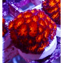 Honeycomb leptastrea.
