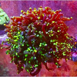 Frogspawn green and pink. 1p.
