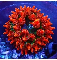 Пузырчатая актиния.