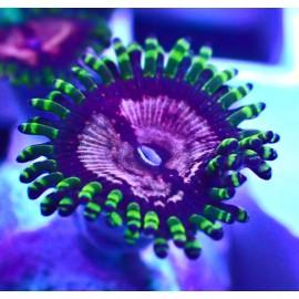 Purple Monsters Zoa. 1 полип.