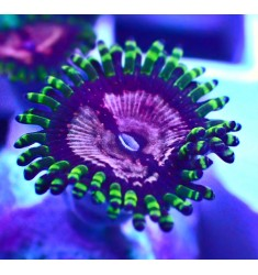 Purple Monsters Zoa. 1 полип.