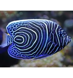 Emperor Angelfish. Ангел императорский. S