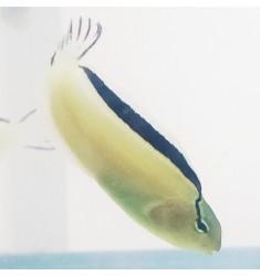 Meiacanthus Smithii. Собачка лирохвостая Смита S.