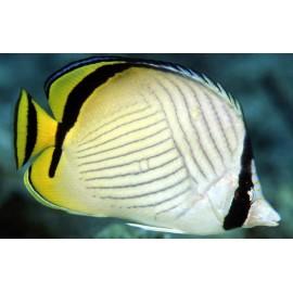 Vagabond Butterflyfish L