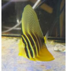 Zebrasoma veliferum SM.