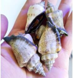 Strombus Snail.
