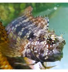 Саларис фасциатус. Salarias fasciatus.