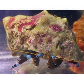 Рак-отшельник синелапый.