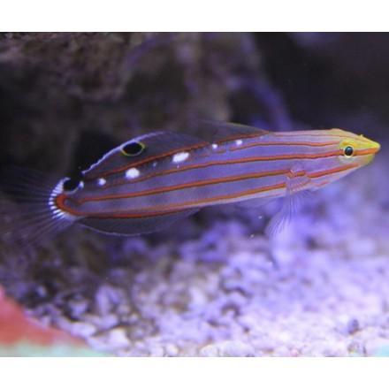 Amblygobius rainfordi S. Бычок Рейнфорда S.
