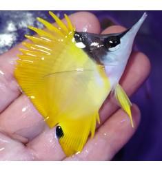 Бабочка пинцет желтая.. WYSIWYG.