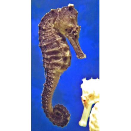 Hippocampus Kuda. WYSIWYG. 12см+.