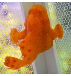 Antennarius pictus. WYSIWYG. Удильщик. Рыба-жаба.