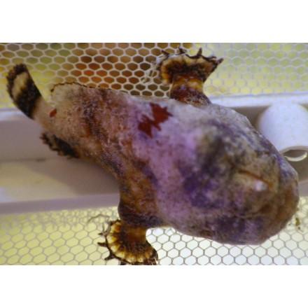 Antennarius tuberosus. WYSIWYG. Удильщик. Рыба-жаба.