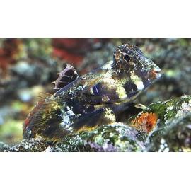 Synchiropus ocellatus. Мандаринка дракон.