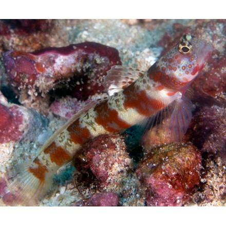 Periophthalma prawn goby. Amblyeleotris periophthalma.