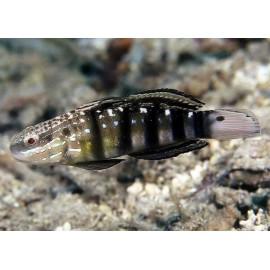Amblygobius phalaena L.