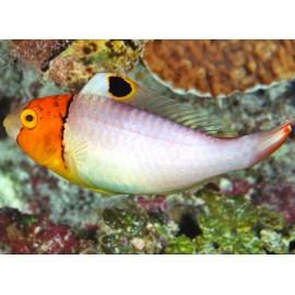 Cetoscarus Bicolor. Рыба-попугай масковая.