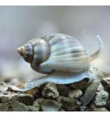 Nassarius Snail. Нассариус.