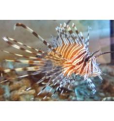 Pterois Volitans. Lionfish. WYSIWYG.