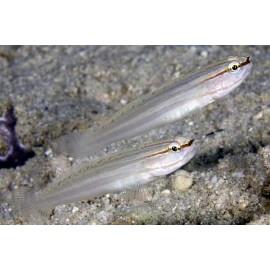 Amblygobius nocturnus.