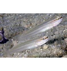 Amblygobius nocturnus.