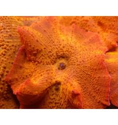 Mushroom Orange Ultra, WYSIWYG