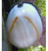Cypraea annulus.