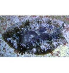 Морское ухо Haliotis.