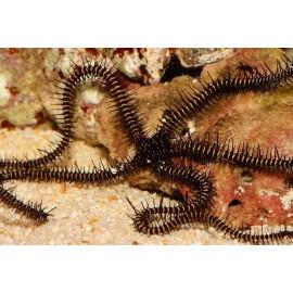 Ophiomastix janualis, Офиура януалис