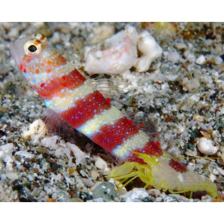Amblyeleotris wheeleri, Gorgeous prawn-goby.