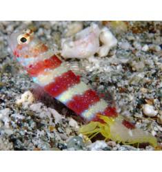 Amblyeleotris wheeleri, Gorgeous prawn-goby.