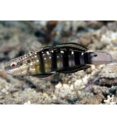 Amblygobius phalaena S.