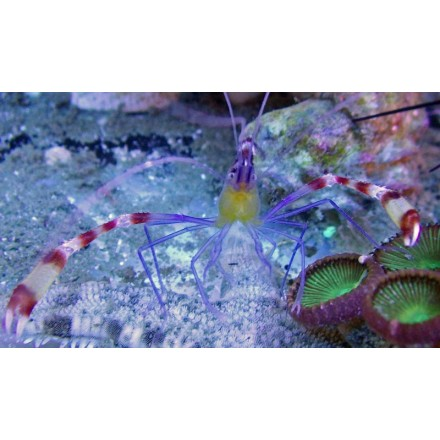 Stenopus cyanoscelis. Креветка боксер.